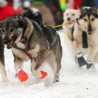 Un attelage de chiens en mouvement.