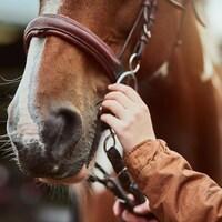 La main d'une personne prépare un cheval pour une promenade.