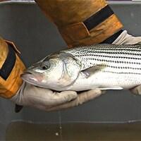 Bar rayé dans les mains d`un pêcheur