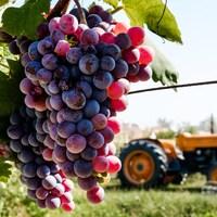 Gros plan sur des grappes de raisin dans une vigne, avec un tracteur au loin.