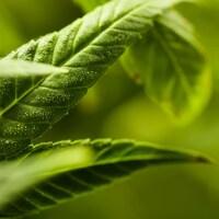 Très gros plan sur une feuille verte de cannabis.