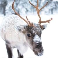 Un jeune caribou au pelage blanc et brun est recouvert partiellement de neige.