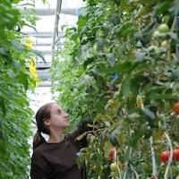 Une femme circule entre des plants de tomates dans une serre.