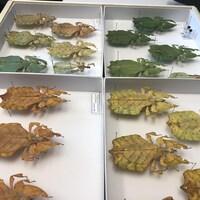 De gros insectes ressemblant à des feuilles épinglés dans des boîtes.