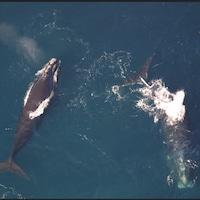 Deux baleines noires