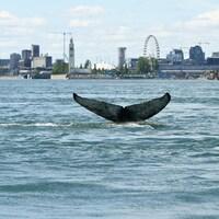La queue d'une baleine à bosse sort de l'eau.