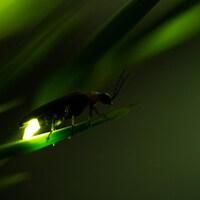 Une luciole est posée sur une tige végétale.