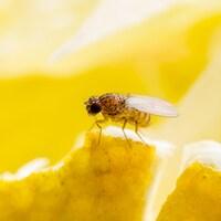 Une mouche à fruits se pose sur un quartier de citron.