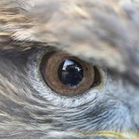 Un faucon regarde très intensément la personne qui le photographie.