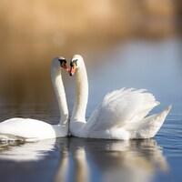 Deux cygnes sur un lac.
