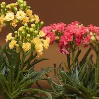 Deux plants de kalanchoe.