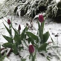 Des tulipes toutes entourées de neige.