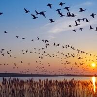 Des oies en plein vol devant un coucher de soleil.