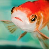 Gros plan sur cyprin doré, ou poisson rouge, nageant dans l'eau.