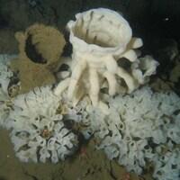 Un récif d'éponges siliceuses.