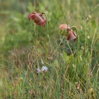 Deux fleurs de sarracénie pourpre à travers de hautes herbes.