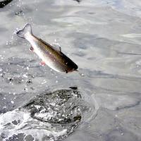 Un saumon steelhead, aussi appelé truite arc-en-ciel, saute hors de l'eau.