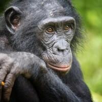Un chimpanzé dans la nature en République démocratique du Congo.