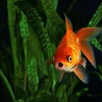 Un poisson rouge nage dans un bocal.