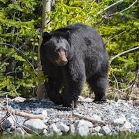 Un ours noir, sur des roches