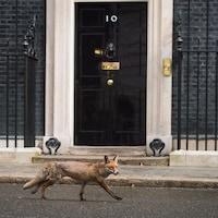 Un renard marche sur une rue d'une ville.