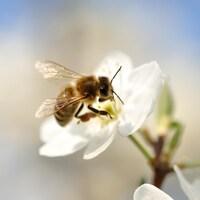 Gros plan d'une abeille qui pollinise une fleur.