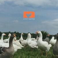 Photo d'oies dans un champ avec le logo « Le petit abattoir ».