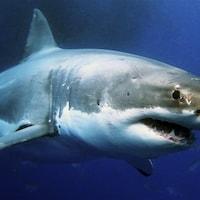 Photo d'un grand requin blanc sous l'eau.