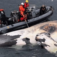 Une baleine noire trouvée morte dans le golfe du Saint-Laurent en 2017