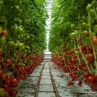 Une serre sur toit remplie de tomates.
