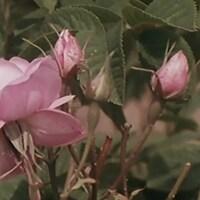 Gros plan de roses de mai.