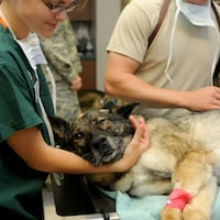 Le chien est sur le côté avec une perfusion dans la patte avant droite.