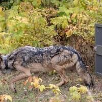 Un loup qui sort d'une cage