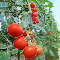 Des tomates dans un champ.