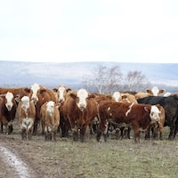 Des vaches dans un champs