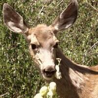 Un daim mange une branche de fleurs dans la nature.