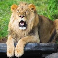 Un lion dans son habitat au Zoo de Granby.