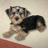 Un petit chien, croisement entre un yorkshire et un bichon maltais.