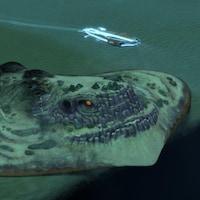 L'engin sous-marin poursuit une raie géante.