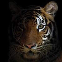 Un tigre vu de très proche.