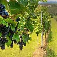 Un vigneron avec des raisins rouge en avant-plan.