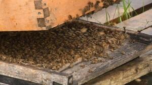 Les apiculteurs de la région durement touchés par la mortalité des abeilles
