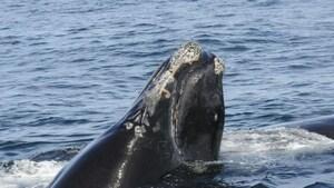 Une baleine noire empêtrée dans des engins de pêche au large de Miscou