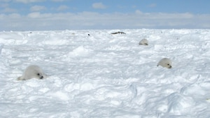 L'observation des blanchons de retour aux Îles-de-la-Madeleine