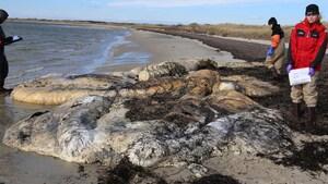 Une 17e baleine noire de l'Atlantique Nord trouvée morte cette année