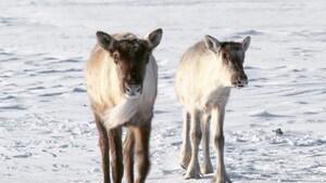 Le plan de protection du caribou de la Gaspésie doit-il être revu?