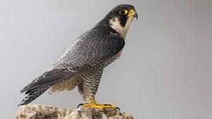 Le faucon pèlerin pourrait être retiré de la liste des espèces menacées