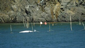La mort d'un petit rorqual dans de l'équipement de pêche soulève des questions