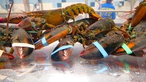Il est «très probable» que les homards souffrent lorsqu'ils sont ébouillantés vivants