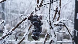 Le froid donne le coup d'envoi aux vendanges du vin de glace